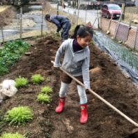 写真:ジャガイモを植える