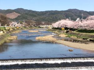 写真:上賀茂・賀茂川沿いの桜