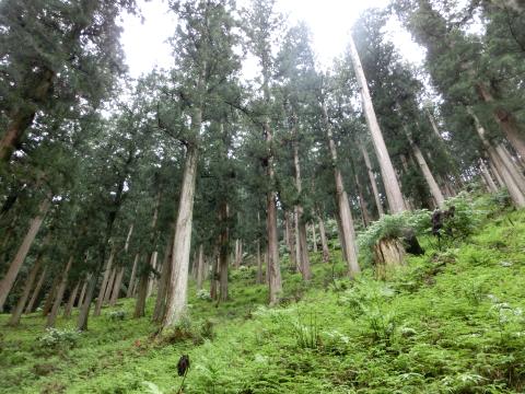 写真:吉野杉の山