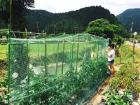 写真:成長中の夏野菜