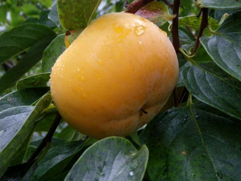 写真:みしらず柿になる御山の柿(2010年11月撮影)