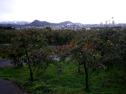 写真:会津盆地を見下ろす斜面に広がる御山の柿畑(2010年11月撮影)