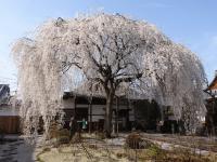 写真:本山本満寺のしだれ桜(撮影:2015年3月31日)